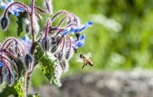 volo d' ape verso borragine